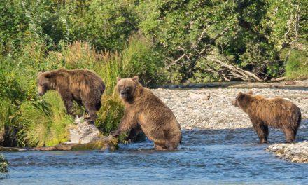 Ours bruns à Hallo Bay