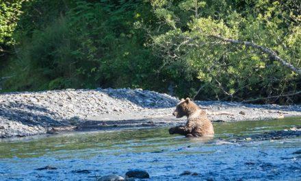 Uyak Bay et ses ours