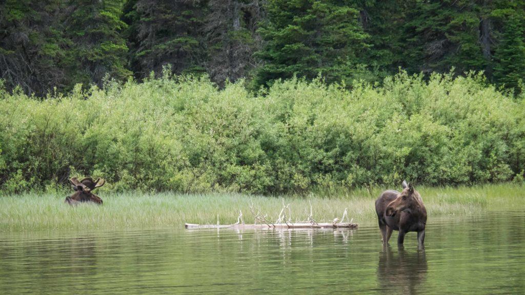 Couple d'orignaux au bord du Lac Josephine