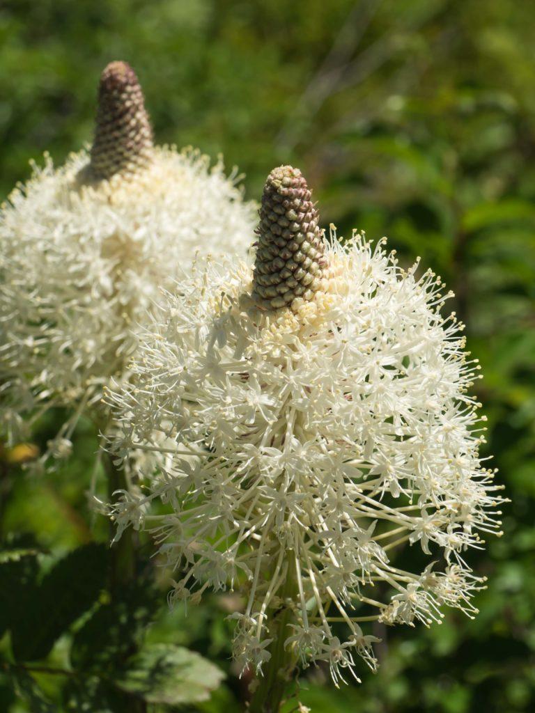 Herbe d'ours ou bear grass (Xerophyllum tenax) au Glacier NP