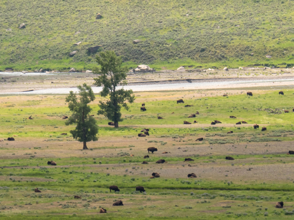 Bisons dans la Lamar Valley (Yellowstone NP)