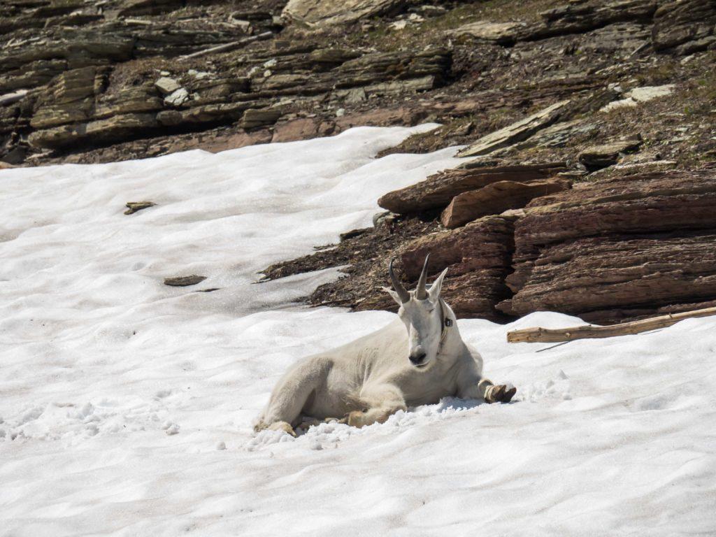 Chèvre des montagnes au dessus du Logan Pass (Glacier NP)
