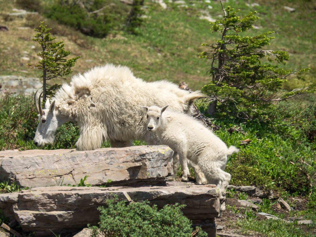 Chèvres des montagnes (Logan Pass, Glacier NP)