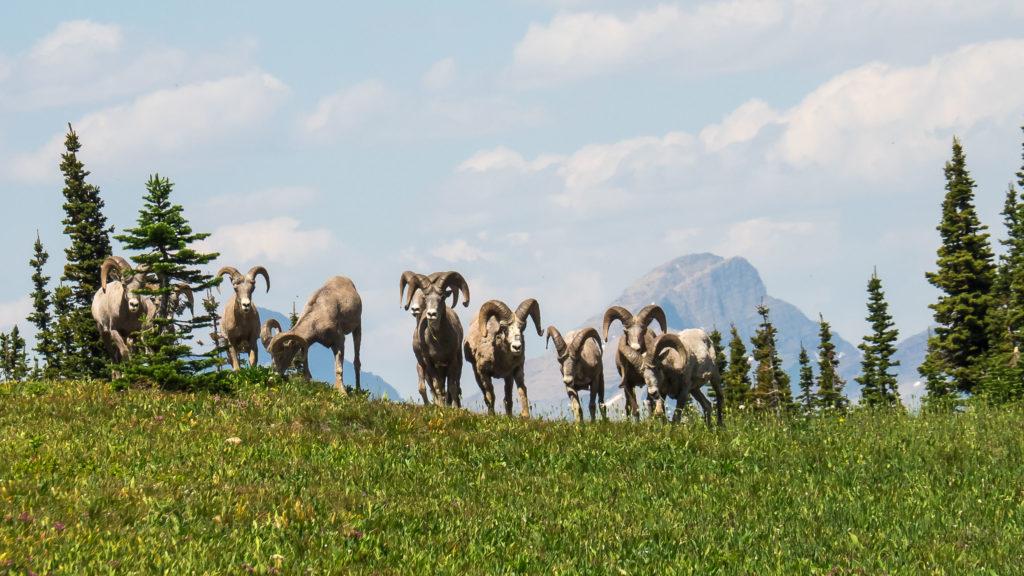 Troupeau de mouflons au dessus du Logan Pass (Glacier NP)