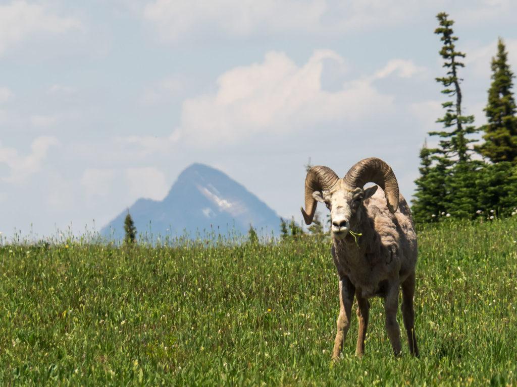 Mouflon (Logan Pass, Glacier NP)
