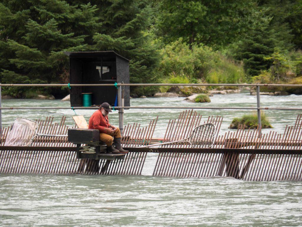 Décompte des saumons (Chilkoot River, Haines)