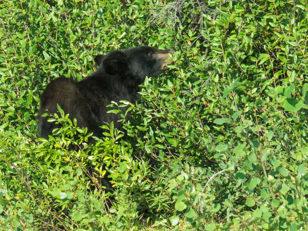 Un ours noir vu de la voiture sur la Haines Road (Yukon)