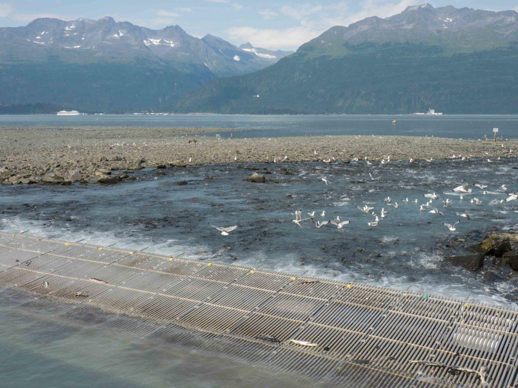 Mouettes et saumons à l'entrée de l'écloserie de Valdez (Alaska)