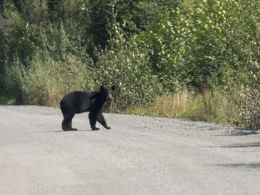 Un ours vu sur la route Mc-Carthy (Wrangell-St Elias NP)